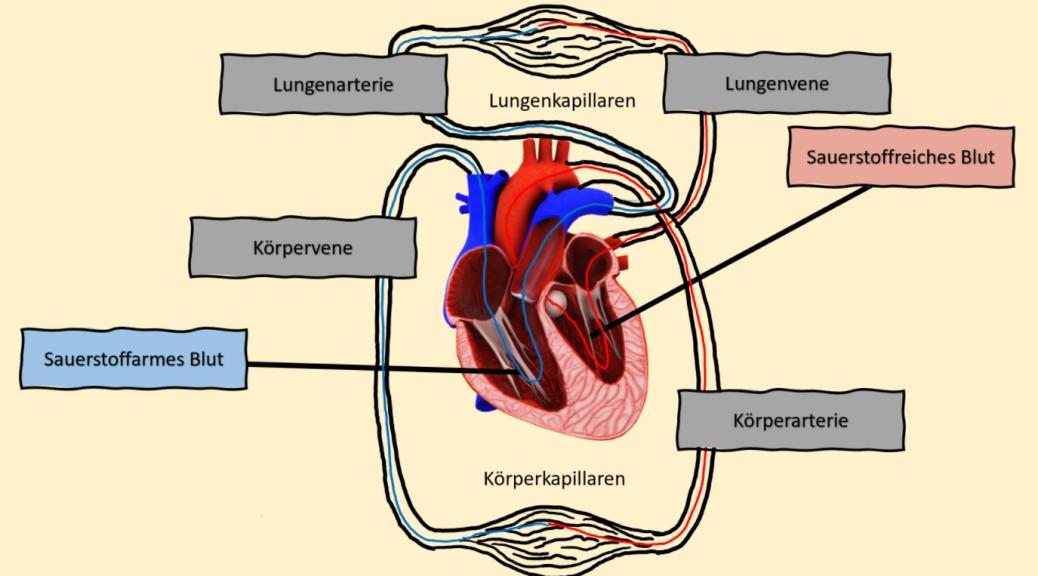 Blutkreislauf Schema